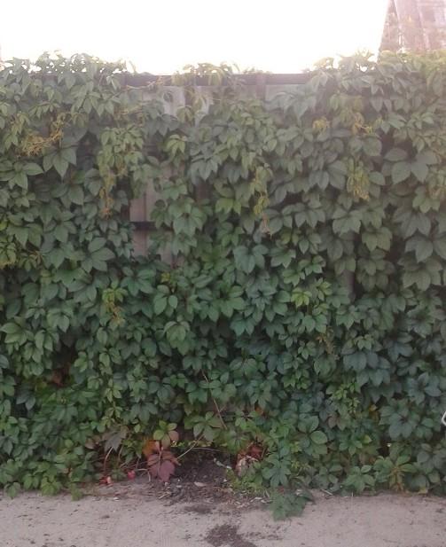 за один сезон декоративный виноград хорошо вырастает